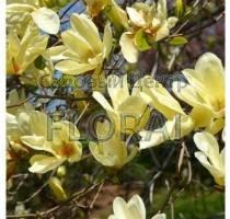 Фаленопсис без цветка Распродажа