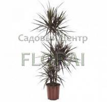 Драцена Marginata Magenta. 3 ствола (60-30-15 см), высота с конт. 120 см. Р21