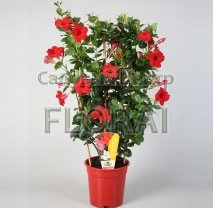 Дипладения Sandevilla красная 60 см Р17