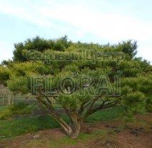 Сосна густоцветная (densiflora). C20. Высота 70 см