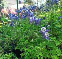 Аквилегия обыкновенная (vulgaris) голубая P9