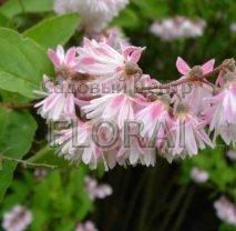 Дейция шершавая (scabra) Codsall Pink. С2
