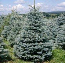 Ель колючая голубая (pungens Glauca). Высота 125-150 см.