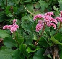 Бадан cordifolia P9