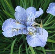 Ирис сибирский голубой Р12