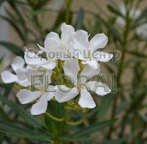 Олеандр белый. Высота 80-100см. C25
