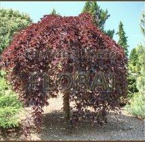 Бук лесной (sylvatica) Purpurea pendula 200/250 см