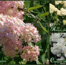 Гортензия метельчатая / paniculata Grandiflora 60/80 см, С5
