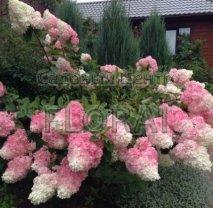 Гортензия метельчатая (Paniculata) Vanille Fraise C5