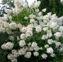 Гортензия метельчатая Grandiflora 40/60 см С5