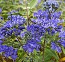Кариоптерис кландонский Kew Blue С3