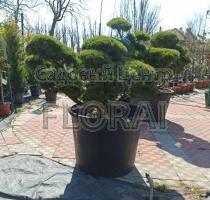 Сосна mugo Mugnus Bonsai. Высота 100-125 см, Диаметр 150+