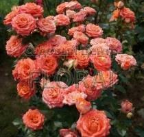 Роза спрей Лососевая