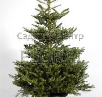 Бамбук зеленый  h150