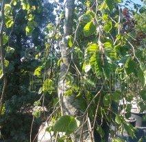 Бук Pendula Verde