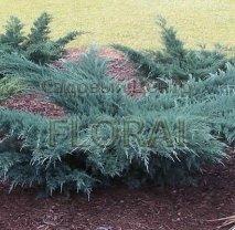 Можжевельник виргинский Grey Owl - Бонсай 100 см