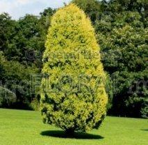 Кипарис аризонский  'Fastigiata Aurea'. Высота 160/180 См