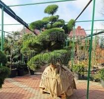 Сосна обыкновенная sylvestris BONSAI. Диаметр 150-200. Высота 175-200 см
