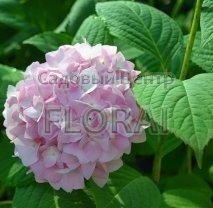 Гортензия macrophylla Розовая С18-25
