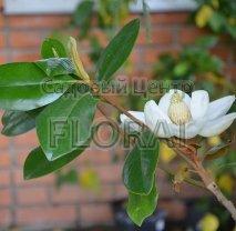 Магнолия grandiflora Gallisoniensis 125/150 см