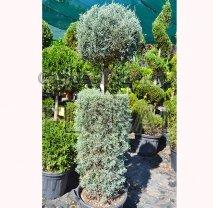 Кипарис аризонский  'Fastigiata'. Цилиндр+шар. Высота 130 см.