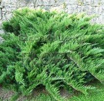Можжевельник казацкий (sabina) Tamariscifolia С10