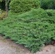 Можжевельник казацкий (sabina) Tamariscifolia 25/30 P19
