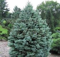Пихта lasiocarpa Green Globe 20-30 см, С3