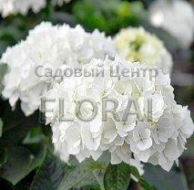 Гортензия macrophylla белая С25
