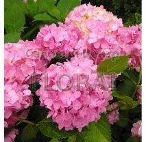 Гортензия крупнолистная / макрофилла  розовая С2-3