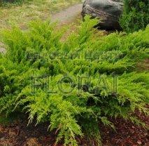 Можжевельник Пфитцериана  Mint Julep, высота 30-40 см, P19