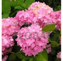Гортензия крупнолистная / macrophylla Pink 30/40 P19