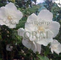 Гибискус сирийский махровый белый 150/175 см