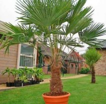 Пальма Хамеропс Excelsa / Trachycarpus fortunei на штамбе 140 см