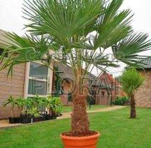 Пальма Хамеропс Excelsa / Trachycarpus fortunei на штамбе 40-50 см