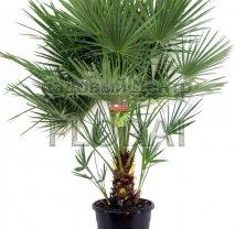 Пальма Хамеропс humilis. Высота 80-100 см