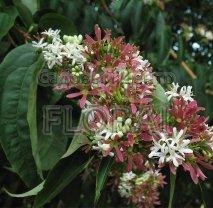 Гептакодиум miconioides 175/200 см