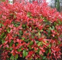 Фотиния Фразера Red Robin 150/175 см  Конус