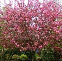 Яблоня декоративная Сoccinella. Обхват ствола 12/14 см