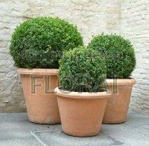 Самшит мелколистный (Buxus microphylla) Faulkner. Шар