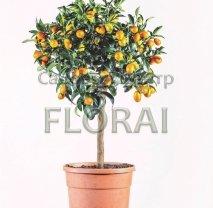 Fortunella margarita Kumquat на среднем штамбе С15