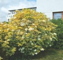Бузина nigra Aurea C4
