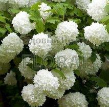 Калина Opulum Roseum (Boule-de-Neige) C2-3