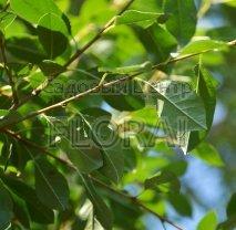 Вишня fruticosa Globosa 1/2St C30