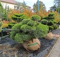Сосна mugo Mugnus Bonsai. Высота 125-150 см. Диаметр 100-125см