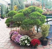 Сосна mugo Mugnus Bonsai. Высота 150+см. Диаметр 80-100см.