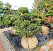 Сосна mugo Mugnus Bonsai. Высота 125-150см. Диаметр 125-150см.