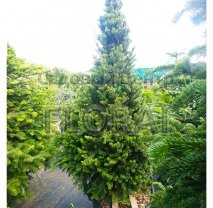Пихта Нордманна Pyramidalis. Высота 125/150 см