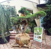 Сосна обыкновенная sylvestris BONSAI. Высота 150-200 см. Диаметр 150-175см