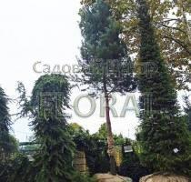 Сосна обыкновенная (sylvestris). Высота 700+см. Обхват ствола 40-45 см